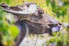 Black big water buffalo is relaxing in the swamp in the forest. Asian buffalo lying in a swamp on a summer day Stock Image