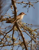 Black-billed Cuckoo Royalty Free Stock Images