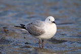 Black-billed Gull Royalty Free Stock Photography
