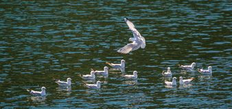 Black-Billed Gull. Black Billed Gull Flying Over A Small Flock Of Gulls, Lake Manapouri, Fjordland National Park, South Island, New Zealand Stock Images