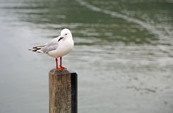 Black billed gull Royalty Free Stock Image