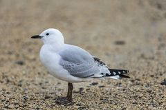 Black-billed Gull Stock Image
