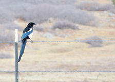 Black-billed Magpie Stock Photography