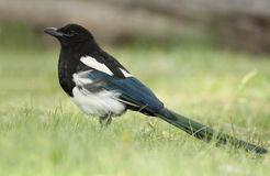 Black-billed Magpie - Banff, Alberta Stock Photo