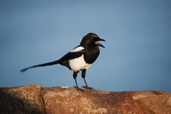 Black-Billed Magpie. Black- Billed Magpies are birds of the Corvidae crow family. The black and white Eurasian magpie is widely considered one of the most stock image