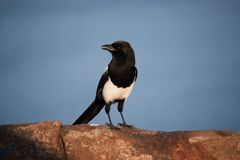 Black-Billed Magpie. Black- Billed Magpies are birds of the Corvidae crow family. The black and white Eurasian magpie is widely considered one of the most stock photos