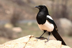 Black-billed Magpie Boldly Perched. A Black-billed Magpie perched boldly on a rock in the Rocky Mountains of Colorado Stock Images