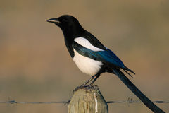 Black-billed Magpie Stock Image