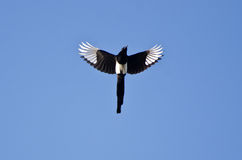 Black-Billed Magpie Flying in a Blue Sky Royalty Free Stock Photos