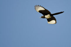 Black-billed Magpie Flying in a Blue Sky Royalty Free Stock Images