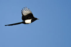Black-billed Magpie Flying in a Blue Sky Royalty Free Stock Image