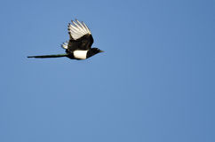 Black-billed Magpie Flying in a Blue Sky Royalty Free Stock Photo