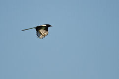 Black-Billed Magpie Flying in a Blue Sky Stock Photography