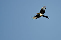 Black-billed Magpie Flying in a Blue Sky Royalty Free Stock Photography