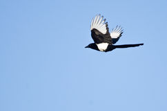 Black-Billed Magpie Flying in a Blue Sky Stock Images