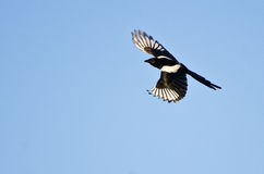 Black-Billed Magpie Flying in a Blue Sky Stock Photos