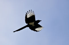 Black-billed Magpie With Its Wings Lit Up in the Bright Sunlight Royalty Free Stock Photo