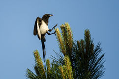 Black-Billed Magpie Landing High in an Evergreen Tree With Feet Outstretched Royalty Free Stock Photos