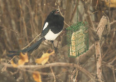 Black billed magpie Stock Photography