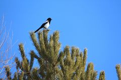 American Magpie perched Royalty Free Stock Photo