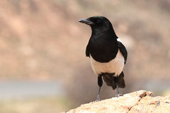 Black-billed Magpie Perched Boldly Stock Photo
