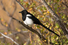Black-billed magpie Royalty Free Stock Image