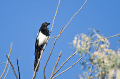 Black-billed Magpie Perched in a Tree Royalty Free Stock Image
