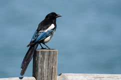 Black-Billed Magpie Perched on Wooden Fence Post Royalty Free Stock Photography