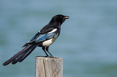 Black-Billed Magpie Perched on Wooden Fence Post Stock Images