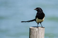 Black-Billed Magpie Perched on Wooden Fence Post. Stoic Black-Billed Magpie Perched on Wooden Fence Post Stock Images
