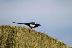 Black-billed Magpie, Pica hudsonia Royalty Free Stock Photos