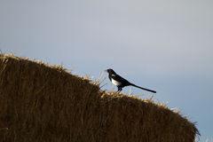 Black-billed Magpie, Pica hudsonia Stock Photo