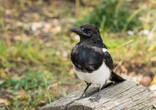 The black-billed magpie (Pica hudsonia), also known as the Ameri Royalty Free Stock Images