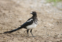 Black-billed Magpie (Pica hudsonia) Royalty Free Stock Photo