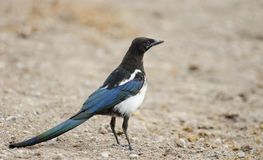 Black-billed Magpie (Pica hudsonia) royalty free stock image
