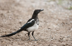 Black-billed Magpie (Pica hudsonia) Royalty Free Stock Photography