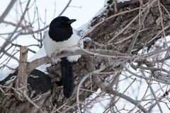 Black-billed Magpie - pica hudsonia. A Black-billed Magpie is perched on a branch on a cold, overcast winter day. Edmonton, Alberta, Canada stock photos