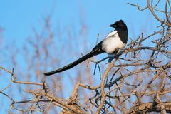 Black-billed Magpie - pica hudsonia. A Black-billed Magpie is perched on a branch enjoying the afternoon sun on a cold winter day. Edmonton, Alberta, Canada royalty free stock image