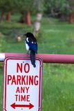 Black-billed Magpie, Pica hudsonia. Black-billed Magpie sits above a no-parking sign in Rocky Mountain National Park in Colorado royalty free stock image