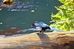 Black-billed magpie Pica hudsonia Royalty Free Stock Photography