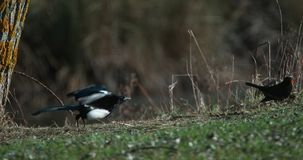 Black-Billed Magpie, pica pica, Adult in Flight, Taking off, Normandy in France,