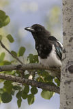Black-billed magpie sitting on trembling aspen tree branch with Stock Images