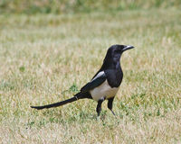 Black-billed Magpie Stock Photos