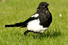 Black-billed Magpie Royalty Free Stock Photo