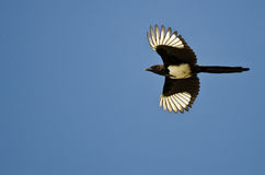 Black-billed Magpiel Flying in a Blue Sky Royalty Free Stock Images