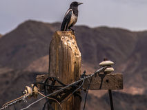 Black-billed Magpies Stock Photo