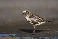 Black-billed Plover Stock Photos