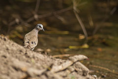 The Black-billed Wood Dove Royalty Free Stock Image