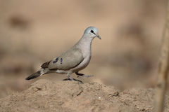 Black-billed wood-dove, Turtur abyssinicus. Single bird on ground, Gambia, February 2016 Royalty Free Stock Photography