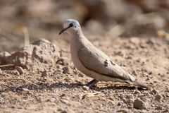 Black-billed wood-dove, Turtur abyssinicus. Single bird on ground, Gambia, February 2016 Royalty Free Stock Image
